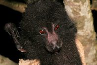 A Guadalcanal Monkey-Faced Bat