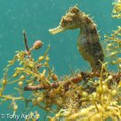 Flatface Seahorse, Hippocampus planifrons