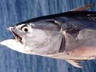 Mackerel Tuna - head