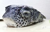 Spotfin Porcupinefish found on the surface