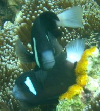 McCulloch's Anemonefish at Lord Howe Island