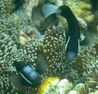 McCulloch's Anemonefish, Amphiprion mccullochi