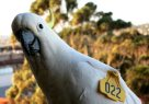 Wingtags cockatoo – Jimmy (022)