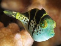 Blacksaddle Filefish at Lizard Island