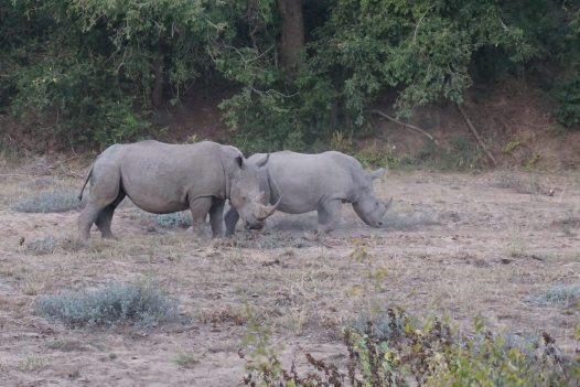 White Rhinos grazing in Kruger National Park, South Africa