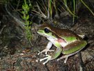 Blue-mountains Tree Frog