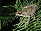 Littlejohn's tree frog
