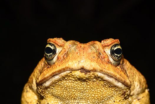 Whats The Difference Between A Frog And A Toad Australian Museum