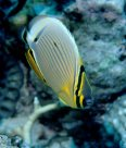 Pinstripe Butterflyfish at Tijou Reef