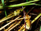 Pair of Green-thighed Frogs