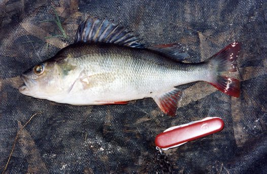 A Redfin from Tuppal Creek