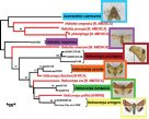 Phylogeny of destructive crop pests
