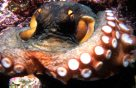 Common Sydney Octopus showing arm