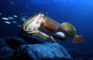 Giant Cuttlefish swimming