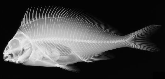 X-ray image of a Red Morwong