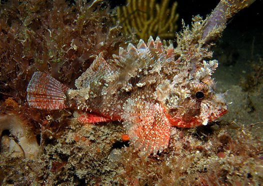 Eastern Red Scorpionfish at Fly Point