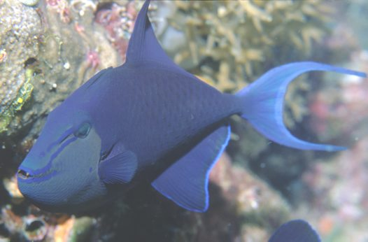 Redtooth Triggerfish at Ribbon Reef