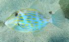 Mosaic Leatherjacket at Fairy Bower