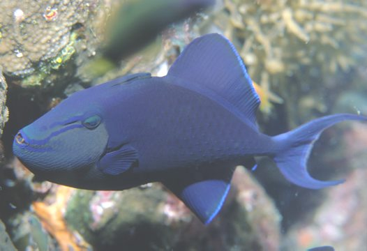 Redtooth Triggerfish (lateral view) at Ribbon Reef