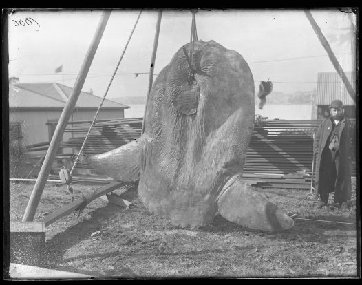 Capturing a sunfish in 1883
