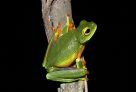 Cape York Graceful Treefrog (<em>Litoria bella</em>)