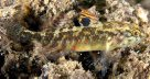 Largemouth Goby in Moona Creek