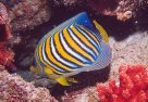 A Regal Angelfish at Felidhoo Atoll