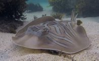 Eastern Fiddler Ray at Fairy Bower