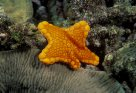 Biscuit Sea Star Tosia australis