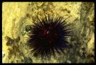 Spiny Sea Urchin Centrostephanus rodgersii