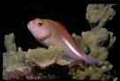 Ringeye Hawkfish at Bougainville Reef