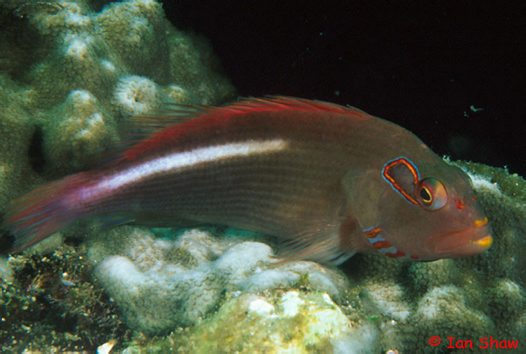 Ringeye Hawkfish at North Solitary Island