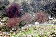 A group of Purple Sea Urchins