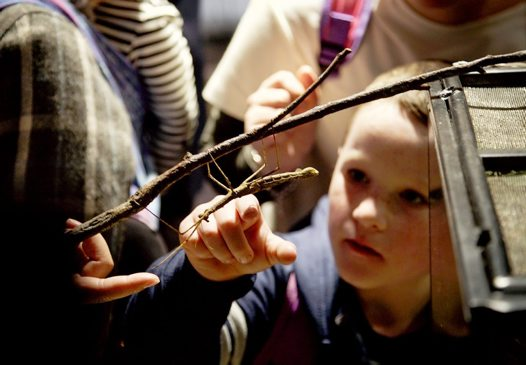Discovering phasmids at the Australian Museum