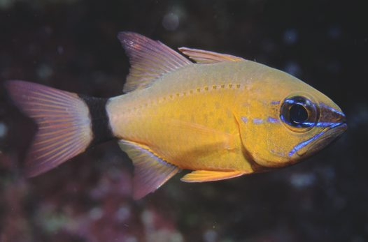 Ring-tail Cardinalfish, Apogon aureus