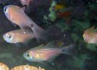 Painted Cardinalfish at Hideaway Island