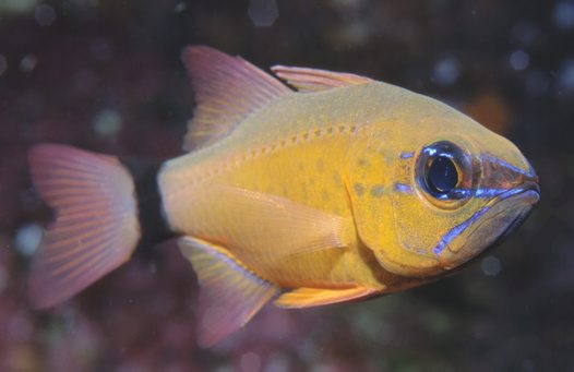 A Ring-tail Cardinalfish at 'Monique's Unique Bommie'