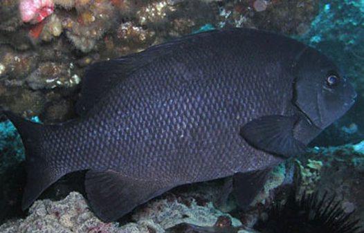 Rock blackfish at bermagui australian museum for Step 2 rocking fish