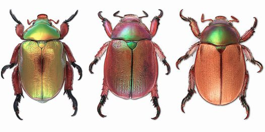 King Beetle (left) and two unnamed Christmas beetles - Australian ...