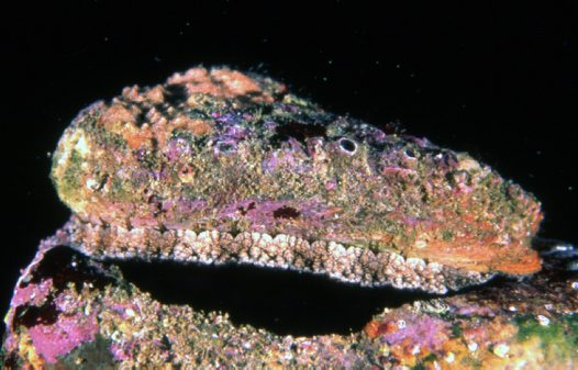 Blacklip Abalone on rock