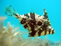 A juvenile Rough Leatherjacket