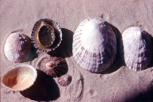 A collection of Limpets Cellana tramoserica