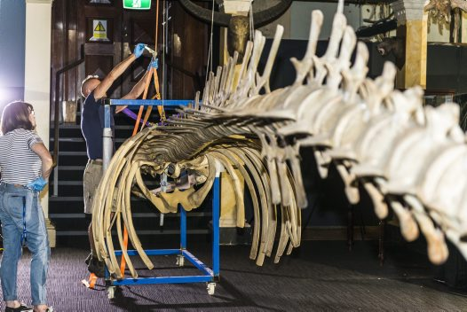 Sei Whale skeleton removal from the Long Gallery