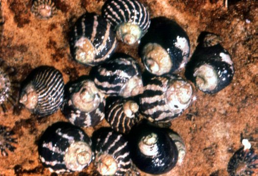 Zebra Snail showing variations in pattern