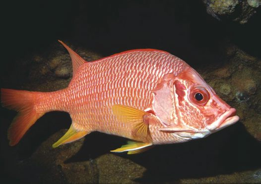 Sabre Squirrelfish at Harrier Reef