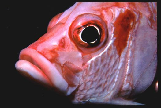 Sabre Squirrelfish at Osprey Reef, Coral Sea