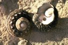 Turban Snails on beach
