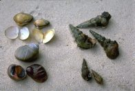 Sydney Mud Whelks on beach