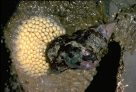 Sydney Rock Whelk with eggs