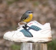 Eastern Yellow Robin on a shoe